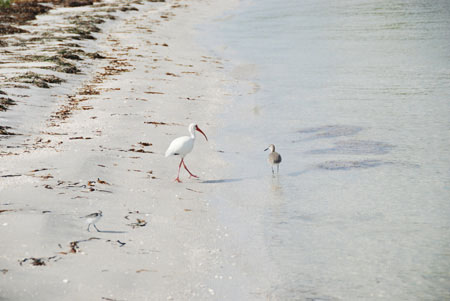 wildlife on cayo costa