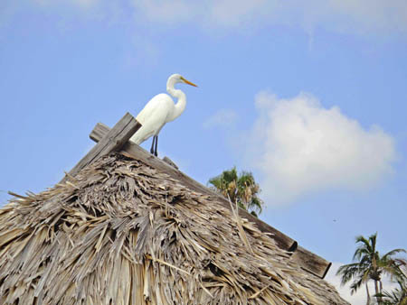 heron on captiva
